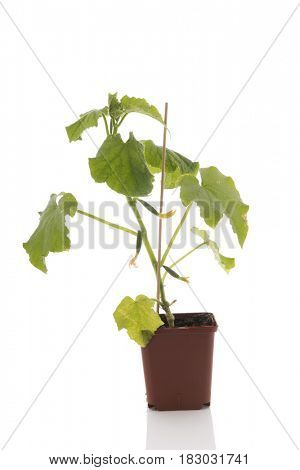 Cucumber plant for the vegetable garden isolated over white background