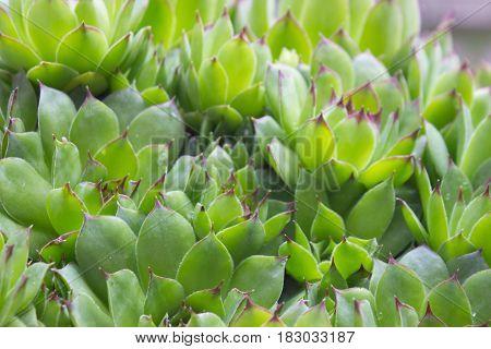 Close up of Sempervivum calcareum - houseleek