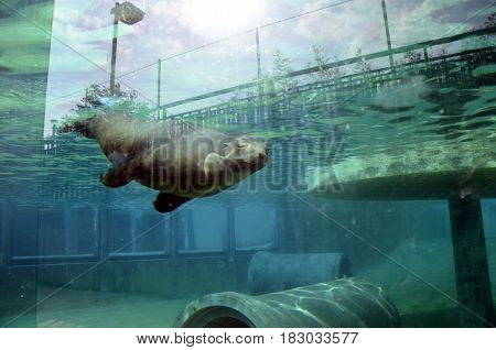 Sea Lion Swimming In Water, In Aquarium
