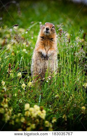 The Arctic Ground squirrel standing alert in the grass