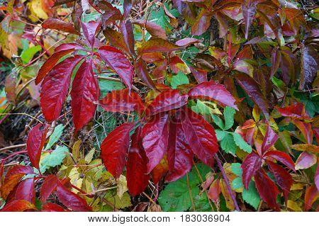 Woodbine Color Leaves