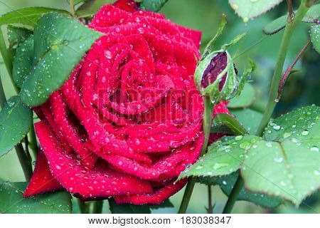 Red rose surrounded by green leaves with water drops after rain