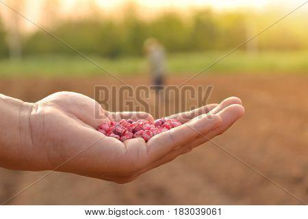 farmer hand holding corn seed for seeding in the garden.