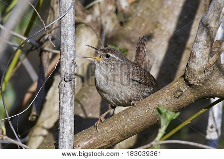 Eurasian wren (Troglodytes troglodytes) sitting on a branch singing