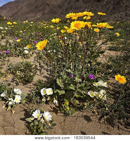 Blooming Mojave Desert at Anza Borrego Springs.