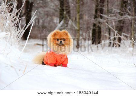 Pomeranian dog in snow. Winter dog. Dog in snow. Spitz in winter forest.