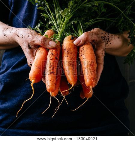 Organic Fresh Harvested Vegetables. Farmer's Hands Holding Fresh Carrots, Closeup. Square Crop