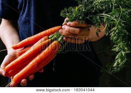 Organic Fresh Harvested Vegetables. Farmer's Hands Holding Fresh Carrots, Closeup