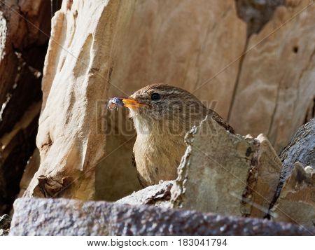 Wren with a bug in the beak