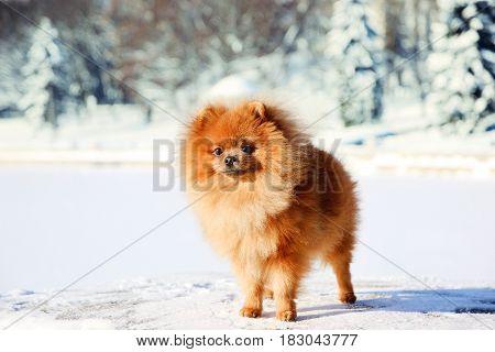 Beautiful dog in winter park. Pomeranian dog outdoor. Groomed dog. Winter