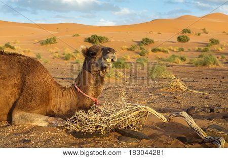 The camel lies on the sand against the background of sand dunes, Sahara desert.