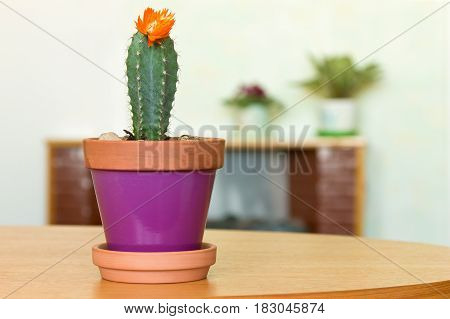 Blooming cactus plant in a flowerpot and other indoor flowers at home