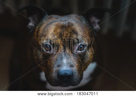 Cinematic photo of staffordshire bull terrier with low contrast. Vintage pitbull head close up photo with shallow depth of field.