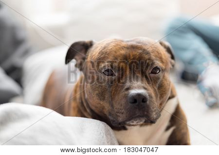 Comfortable staffordshire bull terrier lying on sofa looking to camera in very soft focus. Shallow depth of field of bull breed.