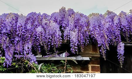 Wisteria in full bloom hanging down from a garage roof.