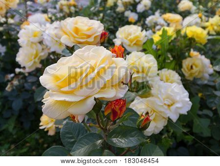 Beautiful cream roses in the garden. Flowers