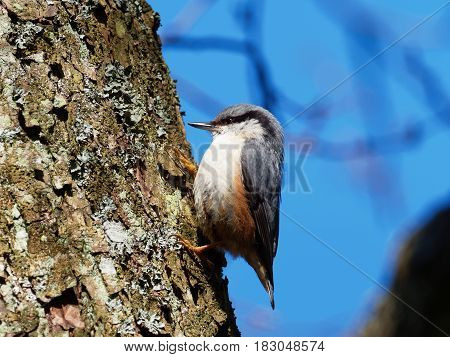 Nuthatch in a tree with blue background