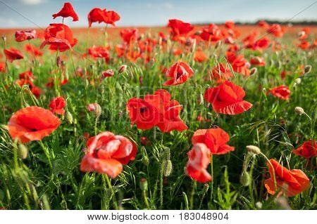Nature, spring, blooming poppy concept - close up on massed display of blooming red poppies on a sunny spring day with blue sky background.