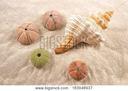 Shell and Dried Sea Urchins on the sand as background