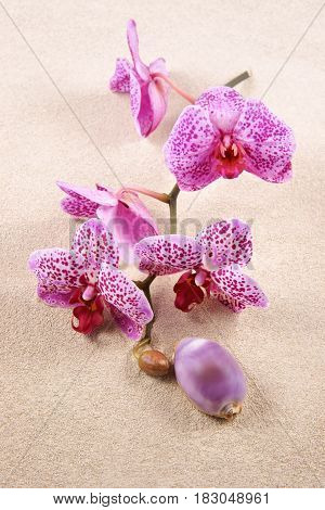 Shell and flowers Orchids (Phalaenopsis) on the sand as background