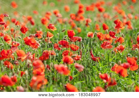 Poppy farming, nature, agriculture concept - industrial farming of poppy flowers - close-up on flowers and stems of the red poppies field.