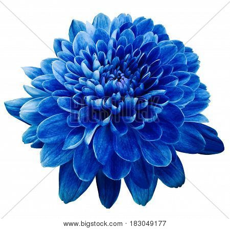 Blue flower chrysanthemum. Flower on white isolated background with clipping path. Closeup. no shadows. Nature.