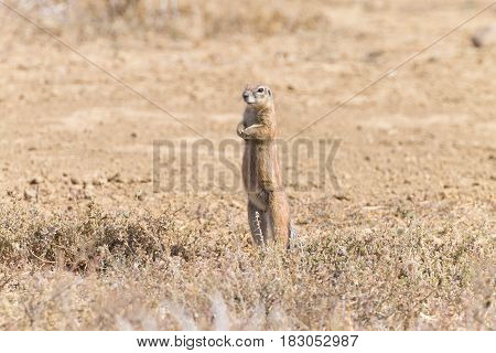 Cape Ground Squirrel Standing, South Africa