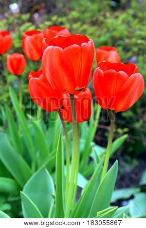 Beautiful red tulips in the spring garden