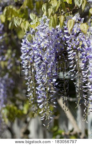 Wisteria. Spring Lilac Flower. Blooming Garden. Warm Spring.
