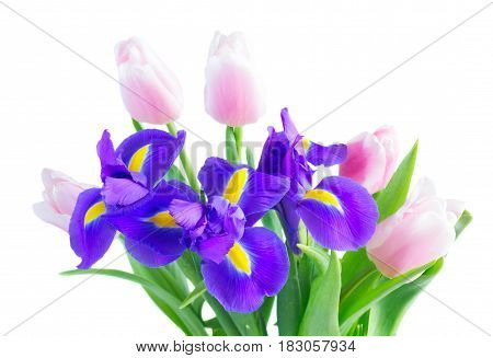 Posy of blue irises and pik tulips flowers close up isolated on white background