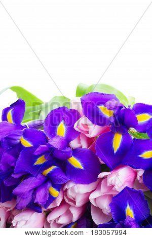 Posy of blue irises and pik tulips border isolated on white background