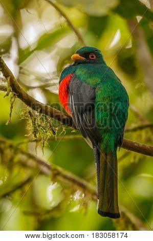 The masked Tragoon bird in cloudforest in Ecuador