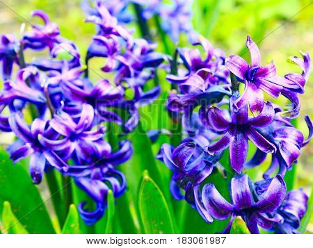 beautiful blue flowers of Hyacinth in the spring