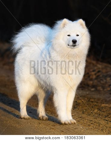Samoyed dog puppy stand on sand at sunset. Age 1 year.