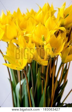 bouquet of wild yellow tulips, natural floral background