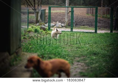 Cute Little Dog On Nature Is Looking On Dachshund Dog In Outdoor. Standard Smooth-haired Dachshund I