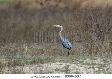 grey heron (ardea cinerea) in Danube Delta Romania