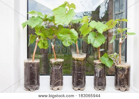 Seedlings of grapes in plastic pots on the windowsill grape shoots small vine ready for planting in the ground