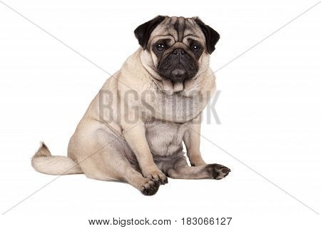 lovely cute pug puppy dog sitting down isolated on white background