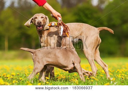 Woman Plays With Weimaraner Dogs Outdoors