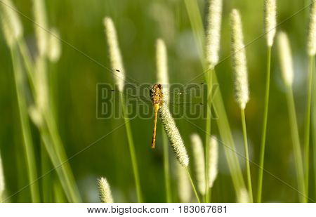 A dragonfly resting on foxtail in Minnesota.