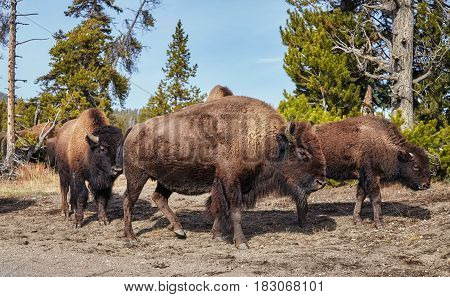 Herd Of American Bison In Yellowstone National Park, Usa.