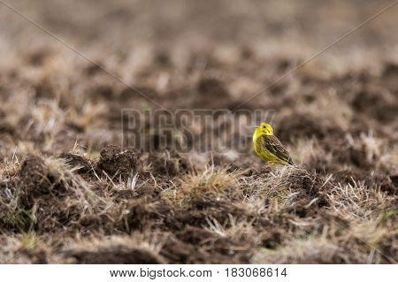 Yellowhammer (Emberiza citrinella) singing in field. Male songbird in the bunting family (Emberizidae) with bright yellow head and breast