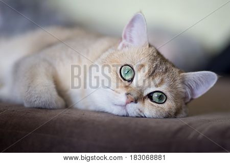 Pensive cat breed golden shaded british shorthair close-up