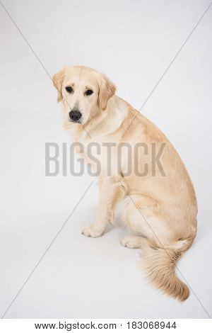 Golden retriever sitting isolated on white background in studio