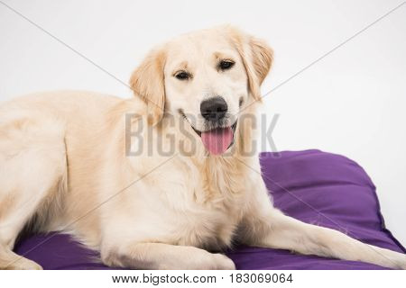 Closeup portrait of smiling Golden Retriever dog on dog bed over white