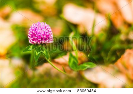 Pink clover flower among the green grass and autumn yellow foliage. In the focus of a clover flower. The background is blurred.