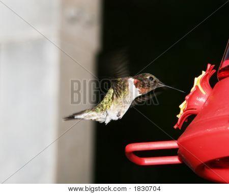 Humming Bird Ruby Throat