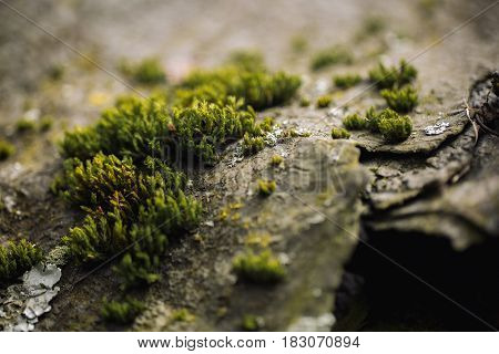 Macro Picture Of Green Moss. Close Up Macro Photography Of Nature. Color Bright Background With Amaz