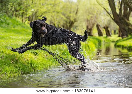 Black mutt dog jumping across stream during spring sunny day.